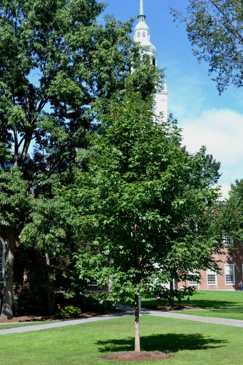 Class Memorial Tree in front of Baker Library